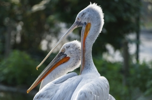В Вене усыпили кудрявых пеликанов