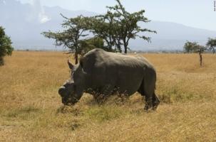 Умер один из гигантов Земли – белый носорог Суни