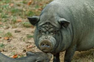 Свиньи растерзали украинского крестьянина