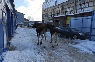 Два лося нанесли визит Рыбинску