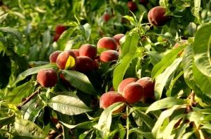 Персиков из Турции стало на 7200% больше